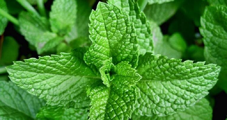 Lá bạc hà chứa menthol dạng tinh dầu, có tác dụng giảm đau và chống phù nề