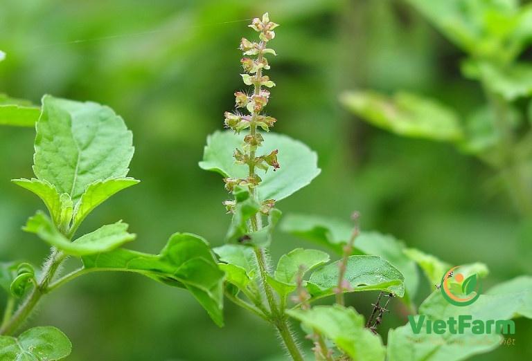 Hình ảnh cây hương nhu trắng được tìm thấy ở nhiều nơi