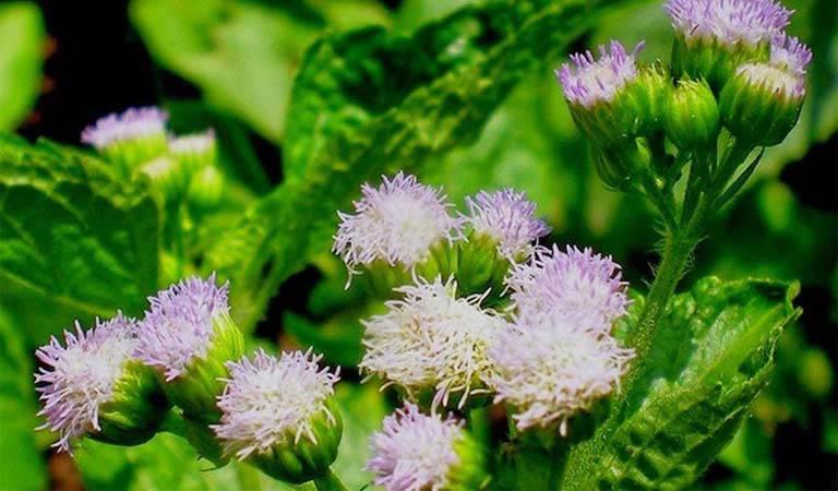 Hoa ngũ sắc là một trong những thảo dược quen thuộc trong bài thuốc trị viêm xoang