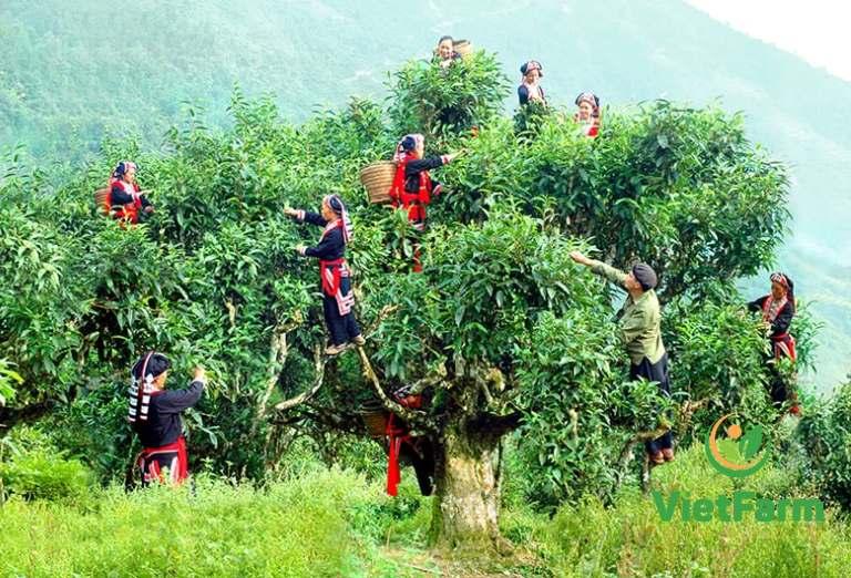 Cây trà shan tuyết có tuổi thọ hơn 100 năm tuổi tại vùng cao Tây Bắc