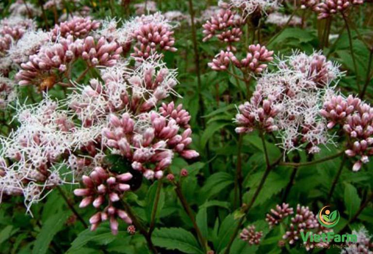 Dược liệu thường được thu hoạch vào mùa hè - thời điểm cây thuốc có đầy đủ dược tính nhất