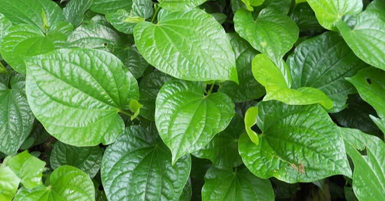 Lá lốt được áp dụng trong nhiều bài thuốc chữa viêm xoang