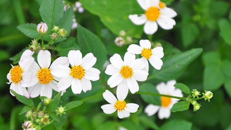 Lá cây hoa xuyến chi có khả năng sát khuẩn, tiêu độc, giảm viêm hiệu quả