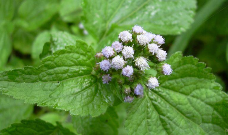 Trong tinh dầu của cây hoa ngũ sắc có chứa các hoạt chất chống dị ứng