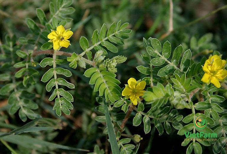 Cây dược liệu có hoa màu vàng, lá kép lông chim