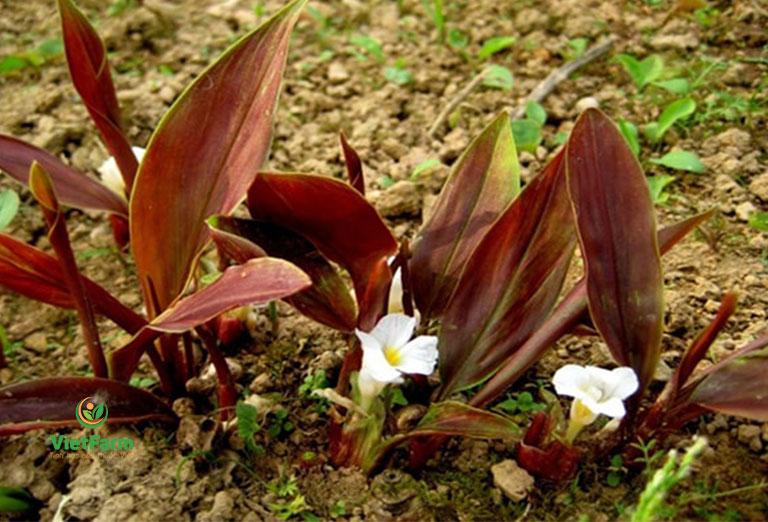 Cây dược liệu có phiến lá lớn, bầu hoa màu vàng đặc trưng