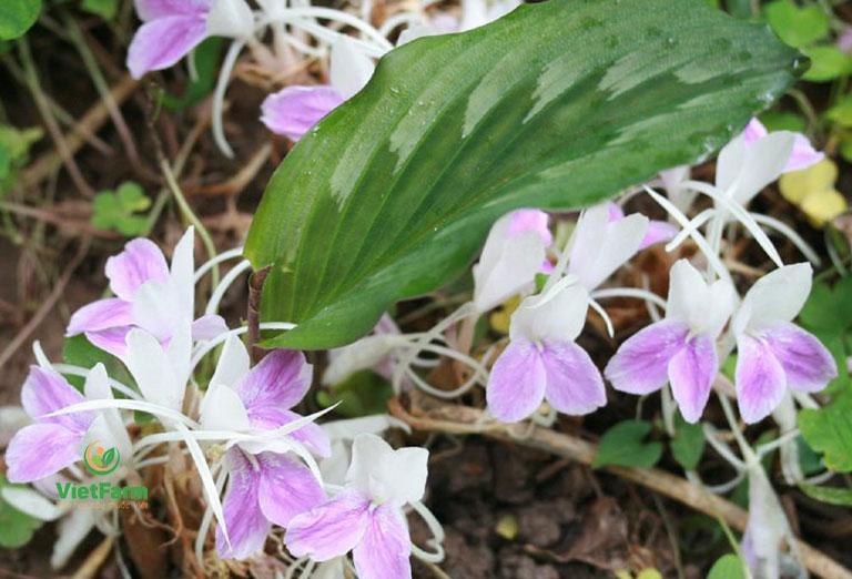Tác dụng hoa tam thất nam gần như là không có, dược liệu chỉ thu hái phần rễ