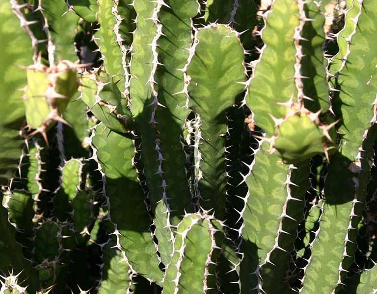 Trị bệnh gai cột sống bằng cây xương rồng 3 chia